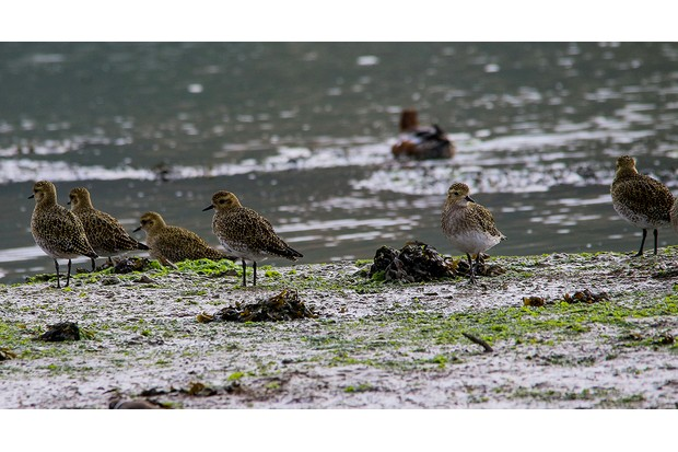Golden Plover on The River Hamble