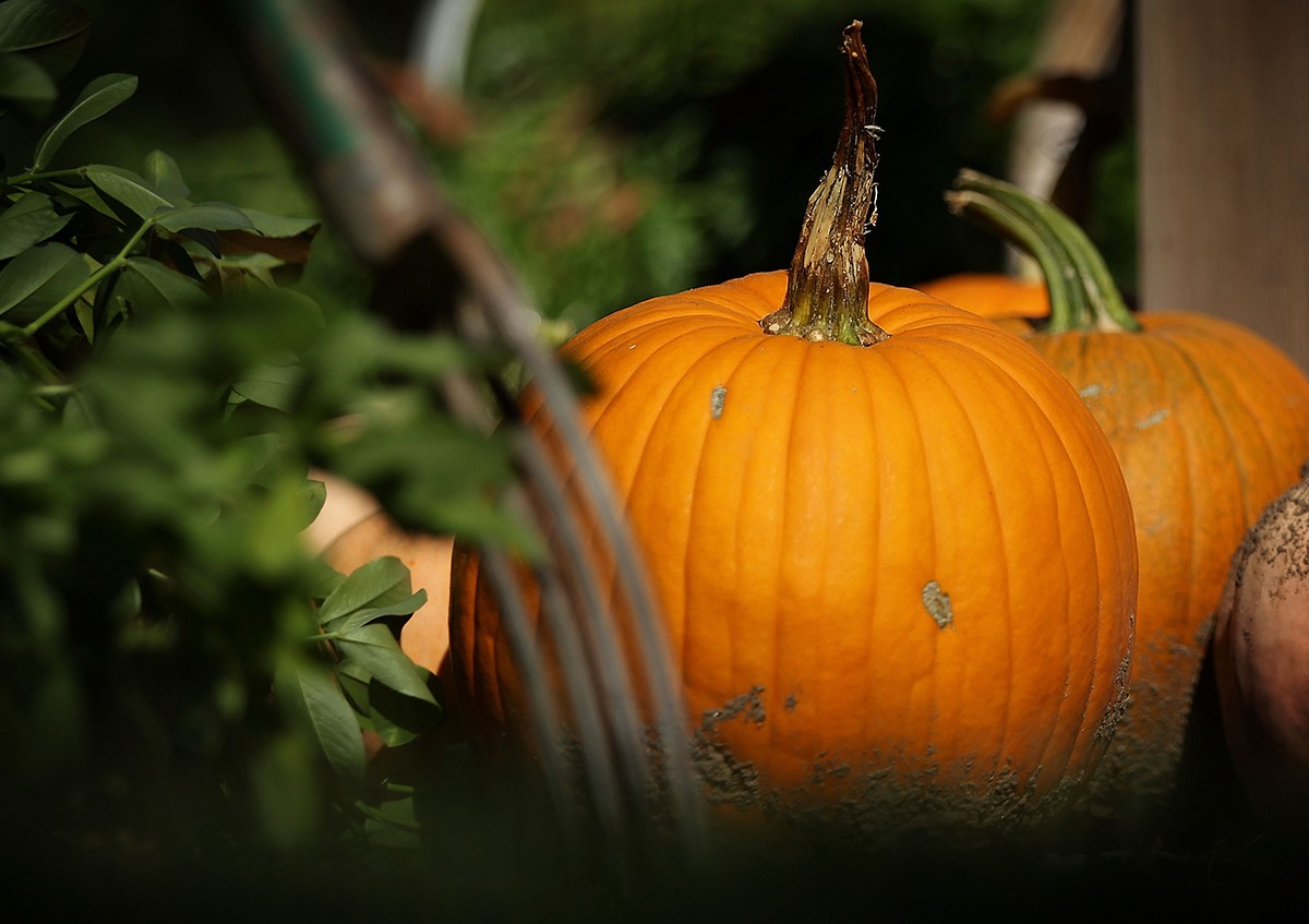 WASHINGTON, DC - OCTOBER 06:  Pumpkins were harvested during the annual fall harvest of the White House Kitchen Garden October 6, 2015 at the White House in Washington, DC. The Kitchen Garden, which started in 2009, is part of the first lady's Let's Move! Initiative.  (Photo by Alex Wong/Getty Images)