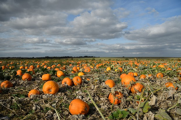 """HOO, ENGLAND - OCTOBER 04: The new pumpkin crop is seen in the field at """"PYO Pumpkins"""" on October 4, 2017 in Hoo, England. The company began in 2009 and allows families to visit the site to pick their own pumpkins, ahead of Halloween events on October 31. (Photo by Leon Neal/Getty Images)"""