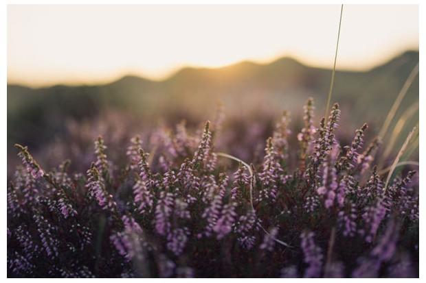 purpleheatheristock-4248079