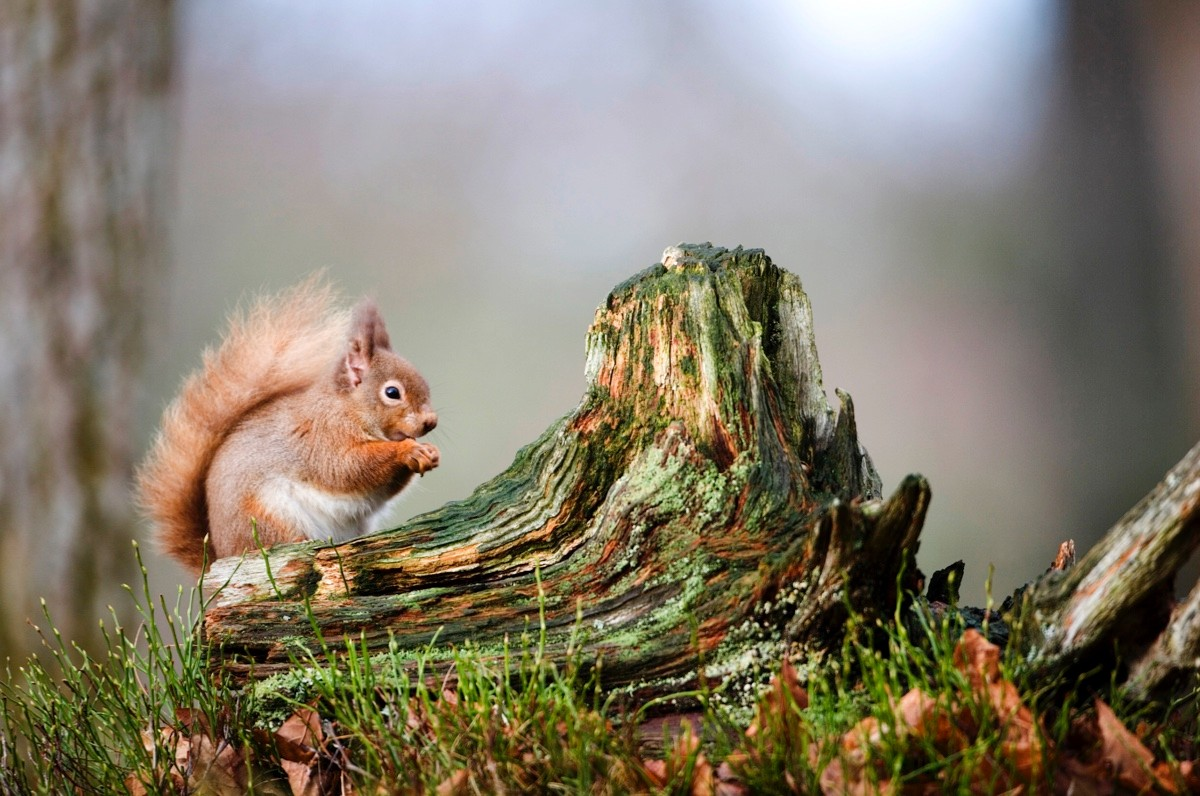 red-squirrel-6059f58