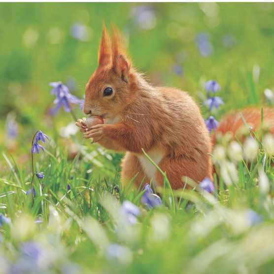 Red squirrel in spring, surrounded by flowers