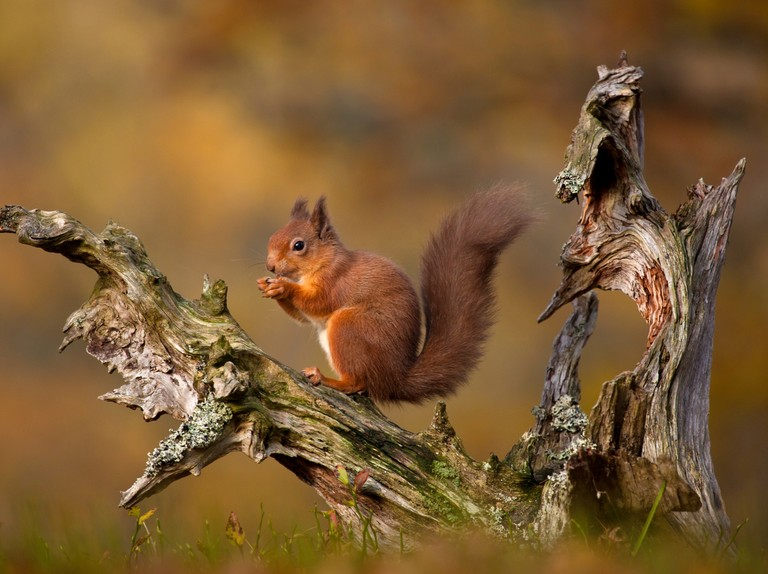 Red squirrels move further into the Highlands thanks to reintroduction project