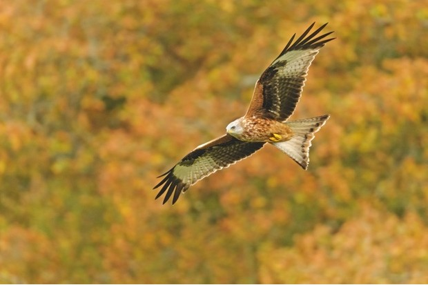 red_kite_hires_BAD2214-a1b8058