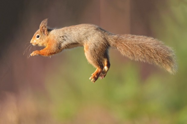 red_squirrel_hires_DAB1160-3b5a5c9