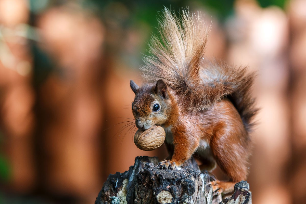 redsquirellGettyImages-594334943-d75cc6a