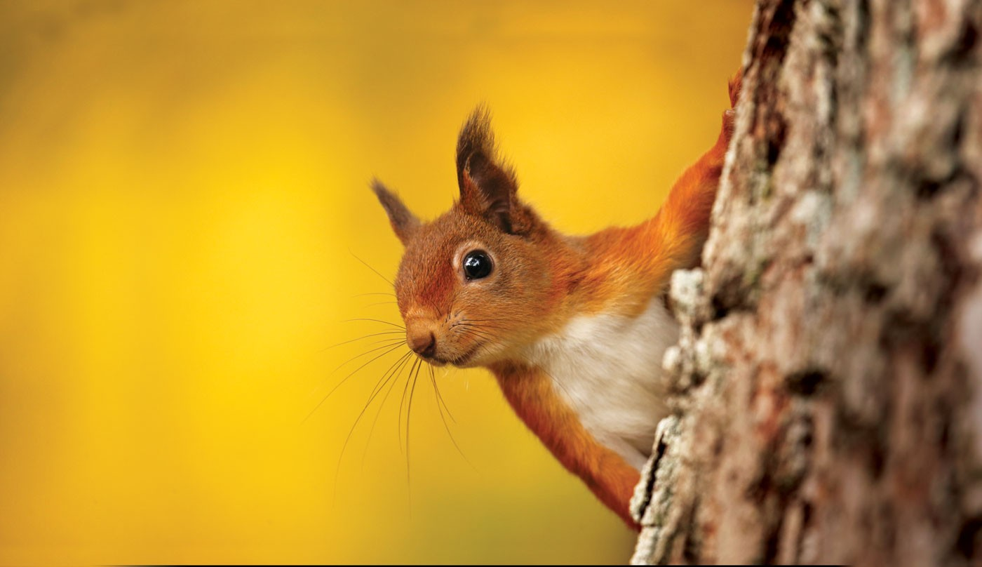 redsquirrel1-67bbd66