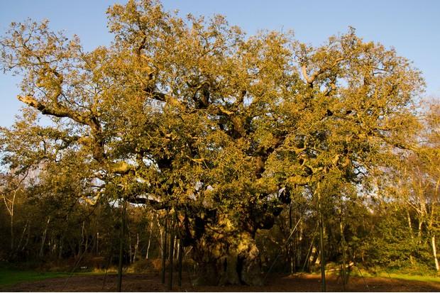 robin-hood-oak-1e543ab