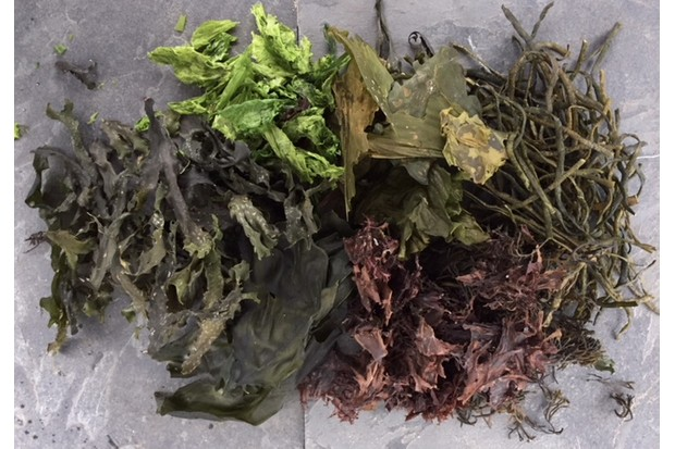 Numerous species of seaweed grow on the Scottish coast