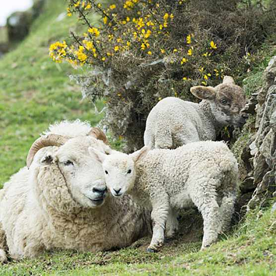UNITED KINGDOM - MAY 12: Sheep ewe and lambs shelter by drystone wall and gorse bush in Exmoor National Park, Somerset, United Kingdom (Photo by Tim Graham/Getty Images)