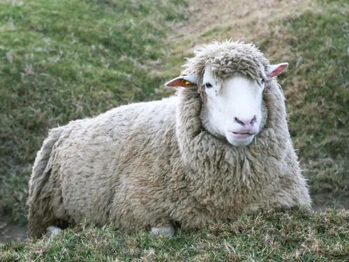 sheep-698189d