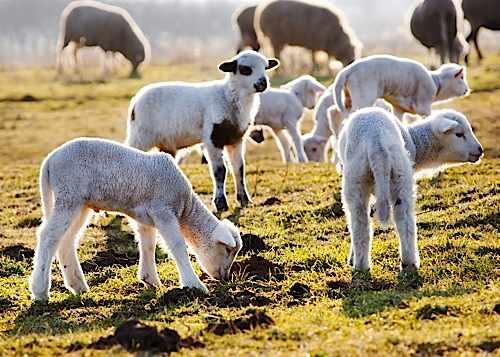 sheepbig-faea600