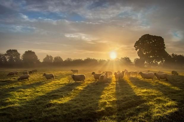 sheepinfield-122a20a