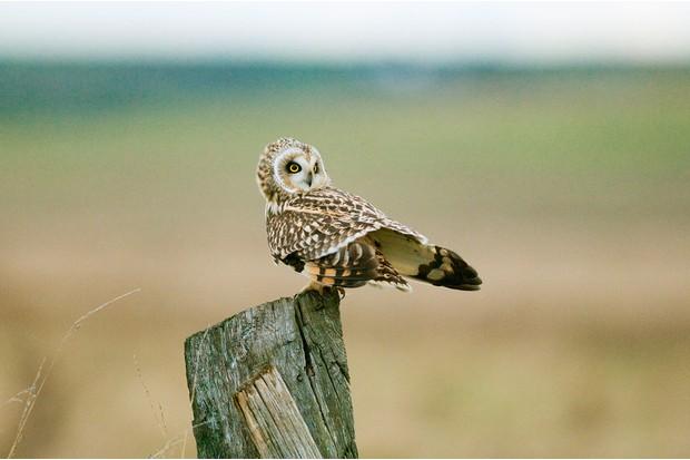 short-eared-owl-5fbd62b