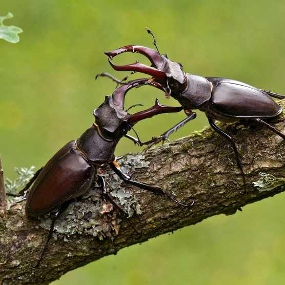 Stag Beetle (Lucanus cervus) Two males fighting, West Sussex, England. UK