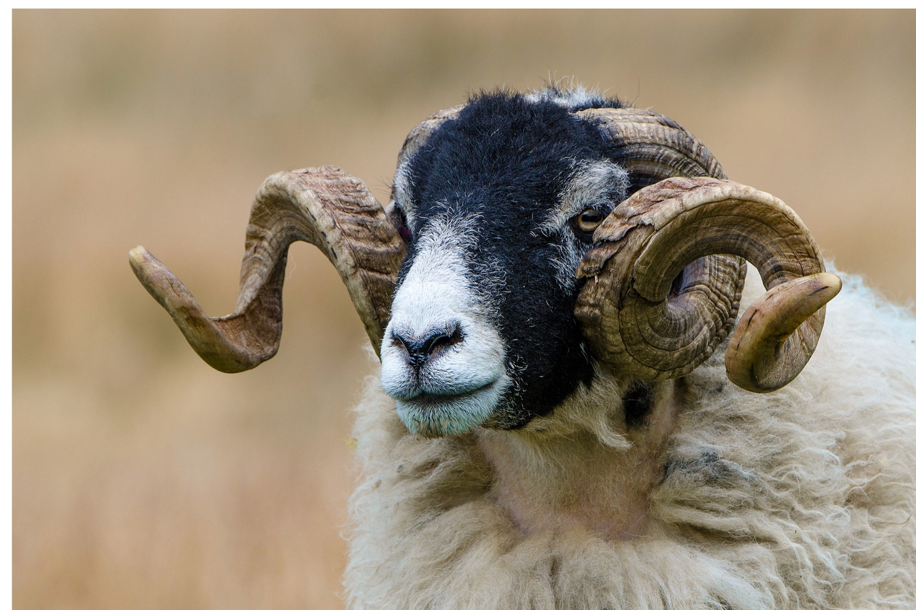 swaledale-sheep-e069ba7