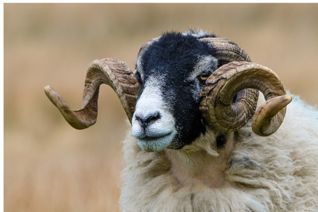 Native British Sheep Breeds And How To Recognise Them