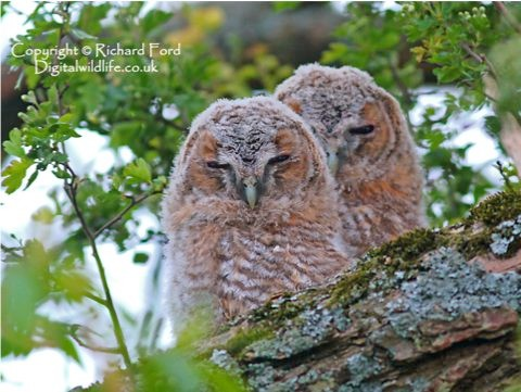 tawny_owls_richardford_r-8f24aae