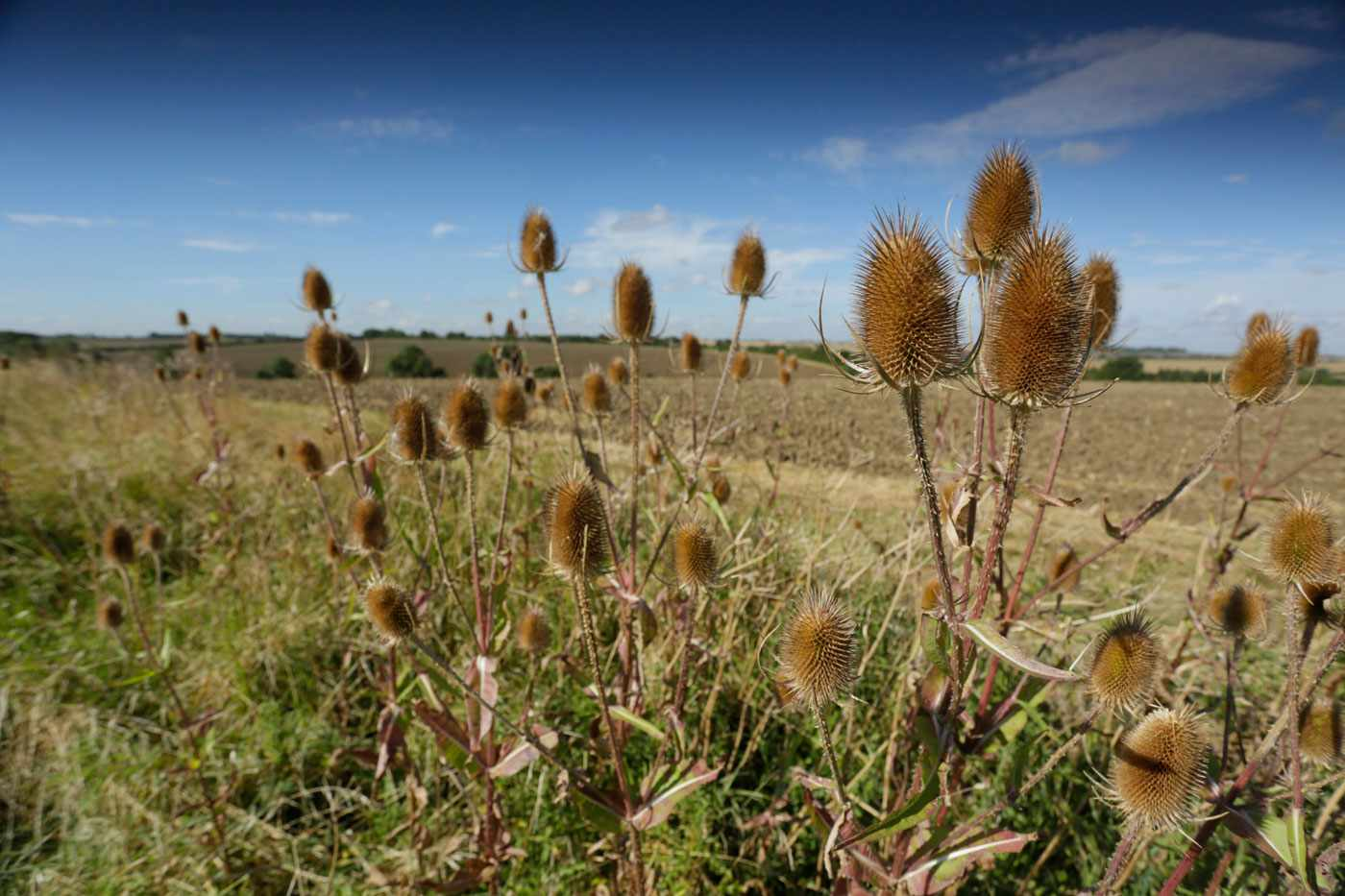 teasels-in-field-margin-59a9b3a