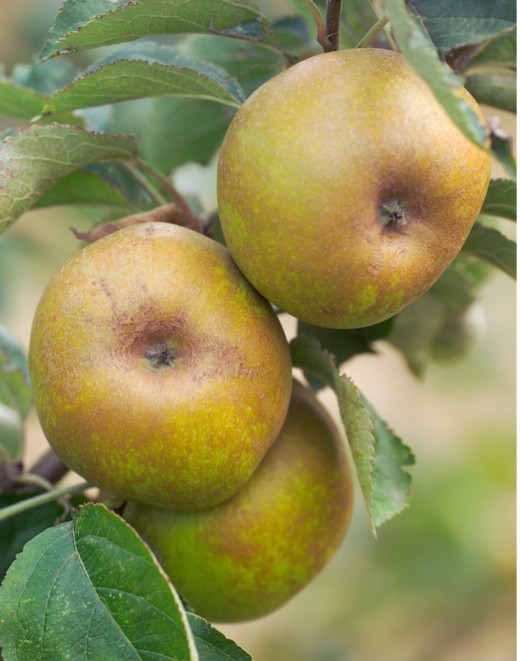 Apples on a tree - ashmead's kernel variety