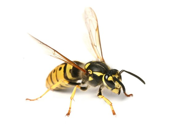wasp-f4d810d