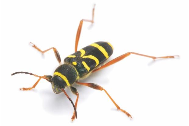 Wasp Beetle (Clytus arietus). [Surrey, England]