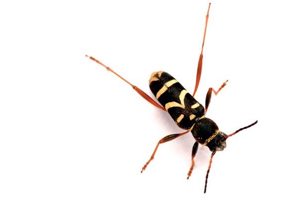 waspbeetle-d20574a
