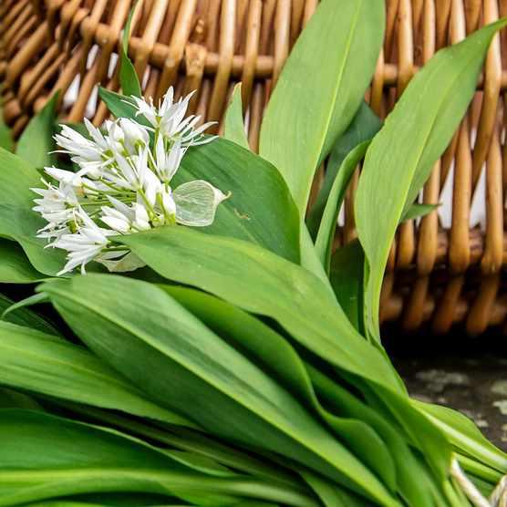 wild-garlic-876d9f6
