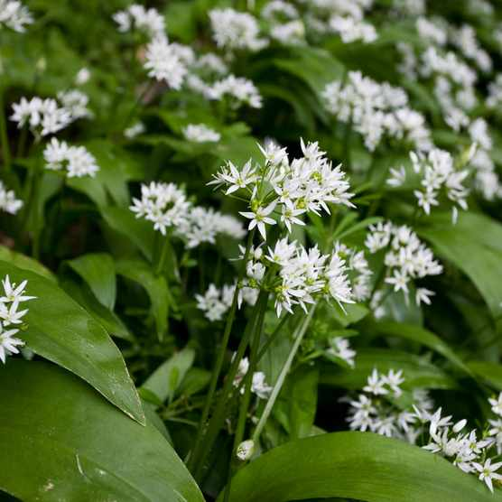 wild-garlic-flowers-3ed8075