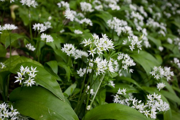wild garlic flowers and leaves