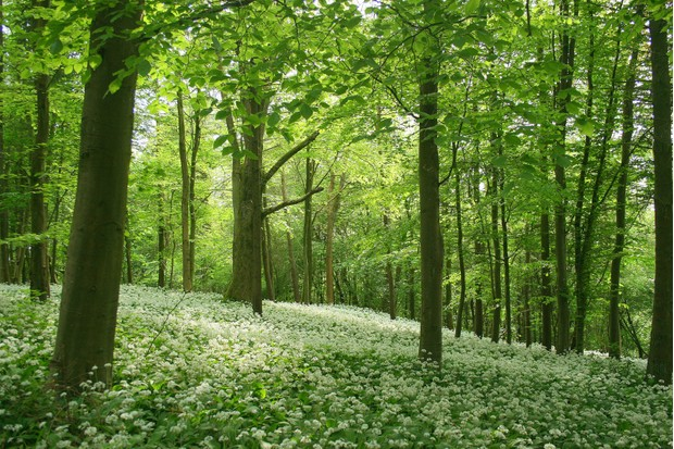 Wild garlic thrives in woodlands