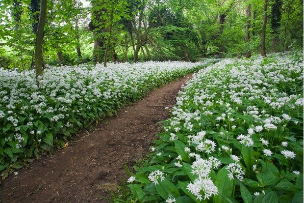 Wild garlic in Cotswolds' wood