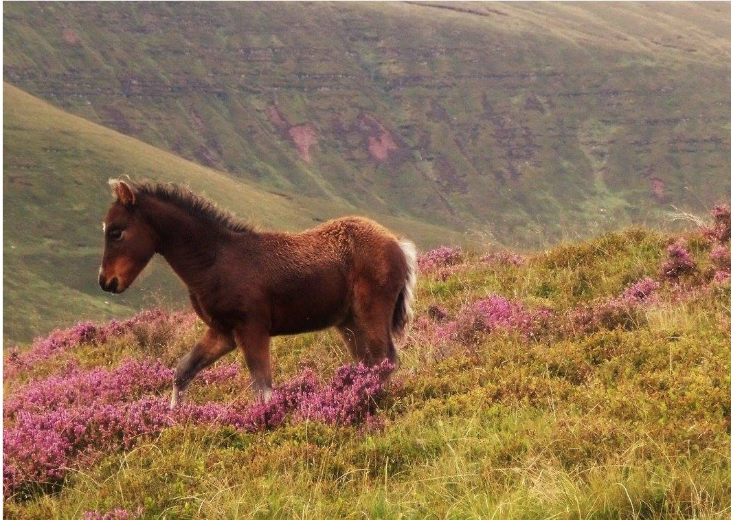 wild-pony-brecon-beacons_0-83fa8db