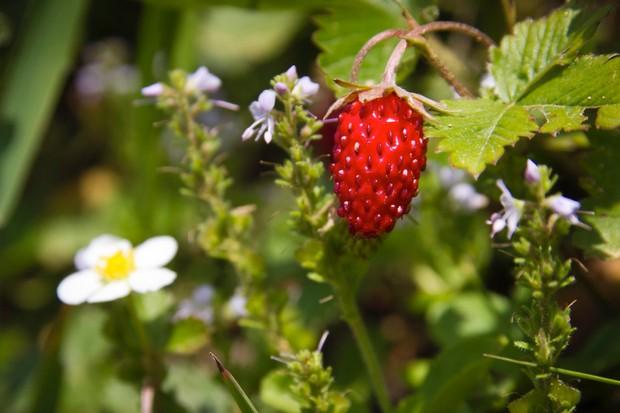 wild-strawberry_0-f8c50d9