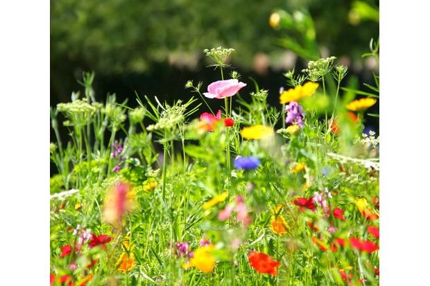 garden wildflower meadow