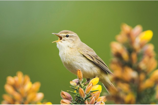 The song of a willow warbler rises sharply and melodically before slowly descending