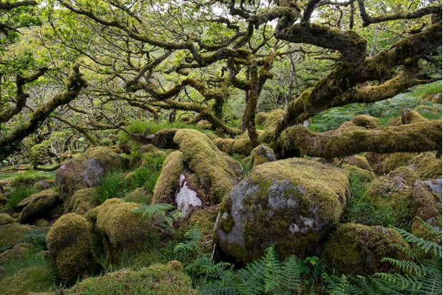 Wistman's Wood on Dartmoor