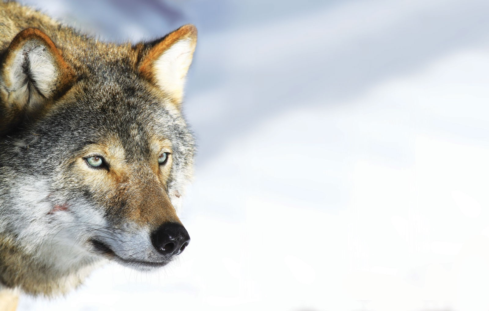 wolf-a853622