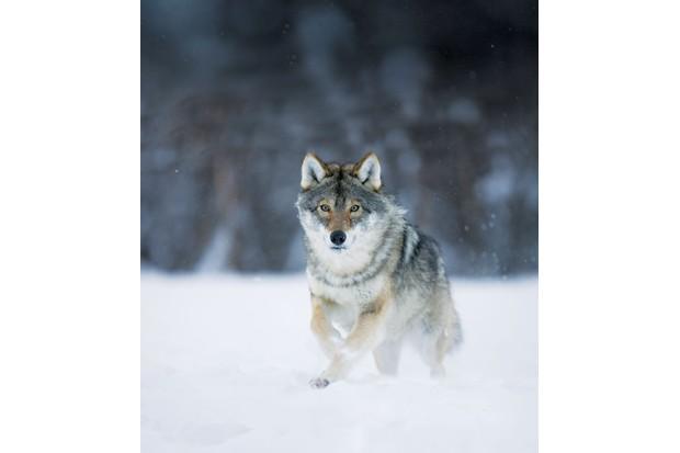 wolfrunning-48146f2