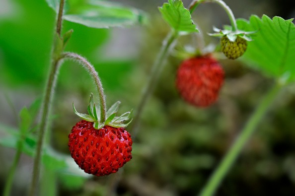 Woodland strawberry / Wild strawberries (Fragaria vesca) close up showing red fruit. (Photo by: Arterra/UIG via Getty Images)