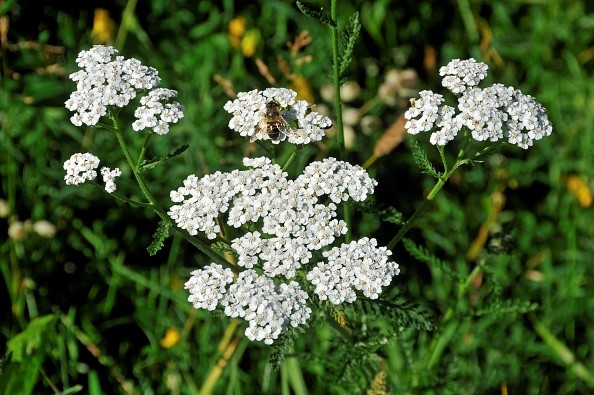 Achillea millefolium. Yarrow. (Photo by: Andrea Innocenti/REDA&CO/UIG via Getty Images)
