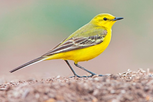 yellow-wagtail-cc1b117