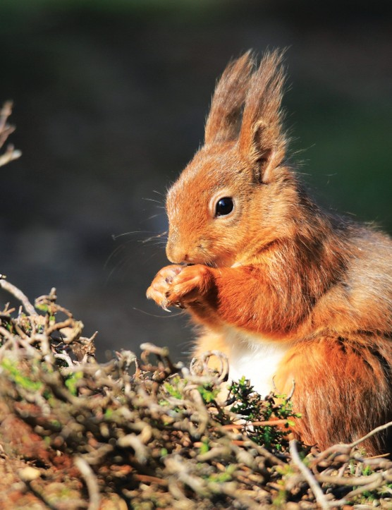 10) SEPT Simon Woodley Red Squirrel