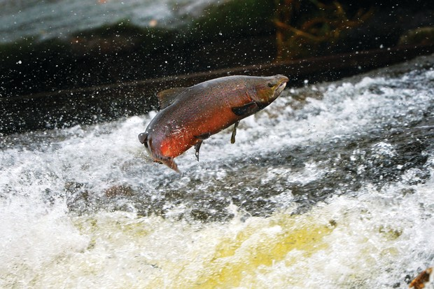Salmon attempt to leap up the fish ladder in the river Etterick in Selkirk, Scotland