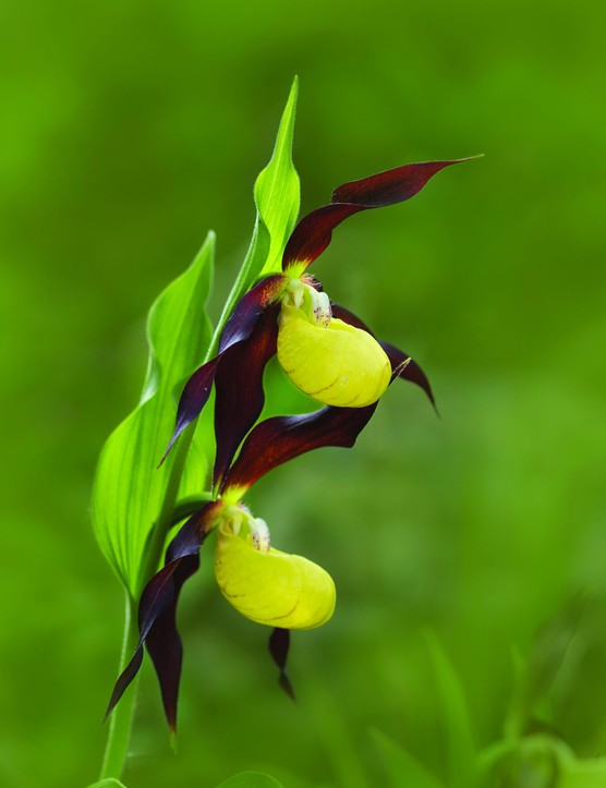 8) JULYChristine Whitehad Lady Slipper 21235
