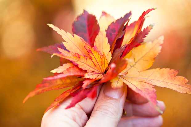 Close-up of a woman's hand holding a bunch of vibrantly-coloured autumn leaves in shades of yellow, red and orange.