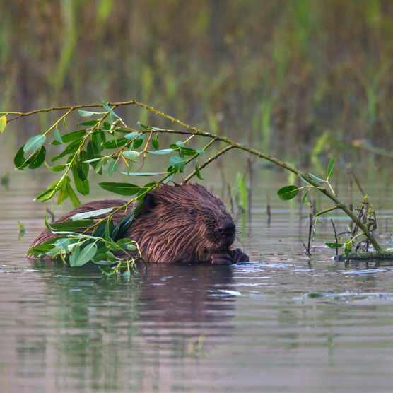 Eurasian beaver / European beaver (Castor fiber) eating leaves/Credit: Getty Images