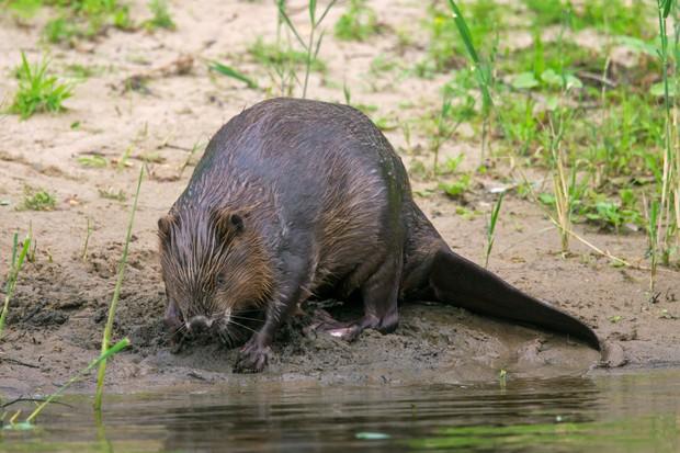 Beaver on riverbank