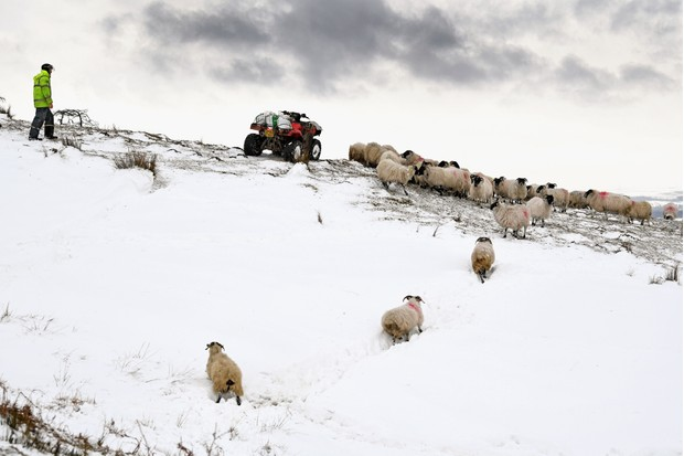 Farmer and sheep in snow