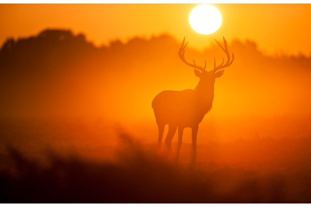 Magnificent Red Deer Stag at dawn